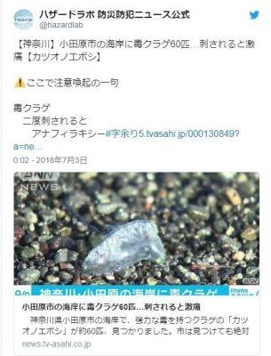 【相模湾】神奈川の海岸に強毒クラゲ「カツオノエボシ」60匹が漂着