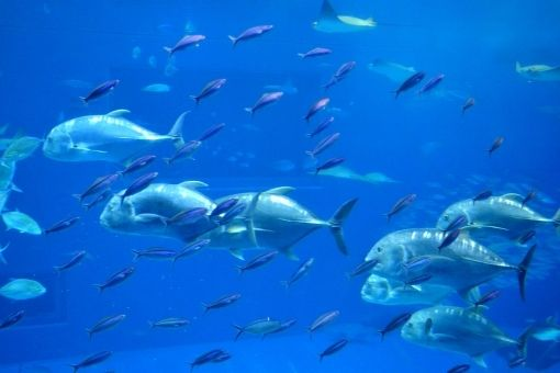 【80年ぶり】アメリカ・カリフォルニア州沖で大型の「本マグロ」が相次いで出現