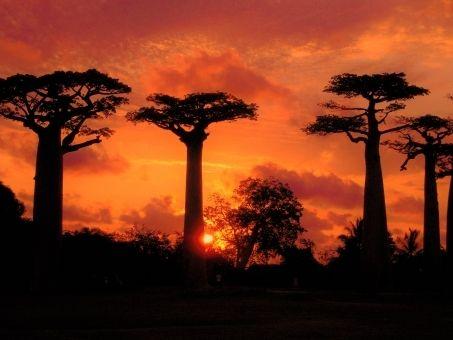 【アフリカ】バオバブの木が大量に枯れる事態に…科学者「前例にない規模」原因も謎で困惑、紀元前の樹木すら枯れ、気候変動などが起因しているのか?