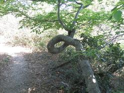 ネジゴグレのブナの木