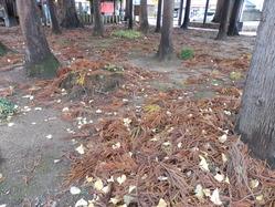 杉の葉っぱ