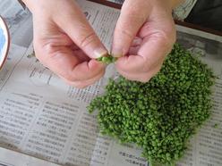 2山椒の実の下処理