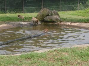 猿の水浴び