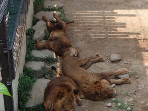 昼寝ライオン