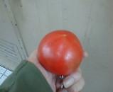 平和島 トマト