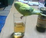インコのピーコちゃん ビール1