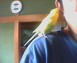 インコのピーコちゃん 肩