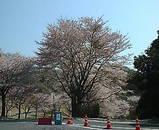 アコーディア 水府ゴルフクラブ 桜