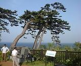 愛恋岬の松