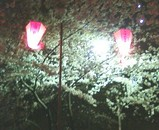 花見 桜 2