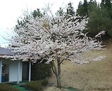 ラフォーレ白河ゴルフコース 桜