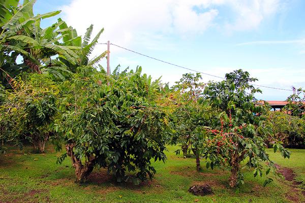 コナ 一番古い コーヒー農園 8