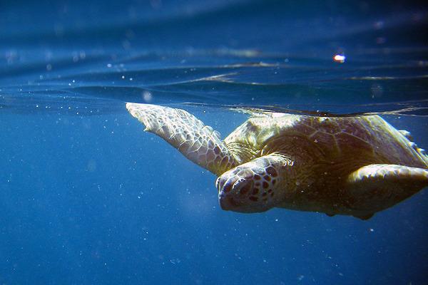 カネオヘサンドバーでウミガメホヌに会う 1