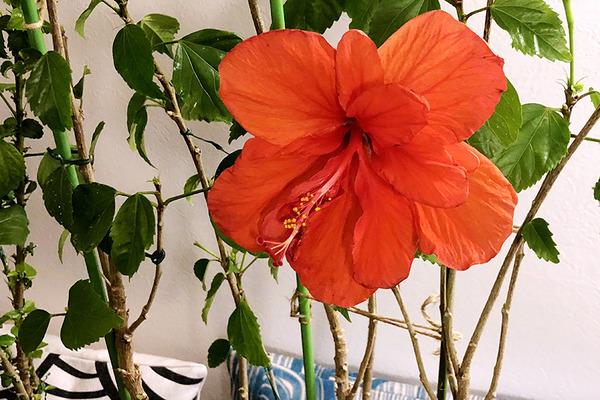 ハイビスカスイリマピカケが咲いてます 3