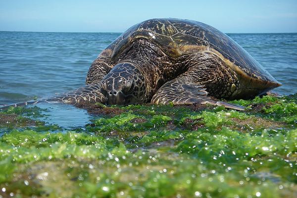 ラニアケアビーチのウミガメ違反者が増加 1