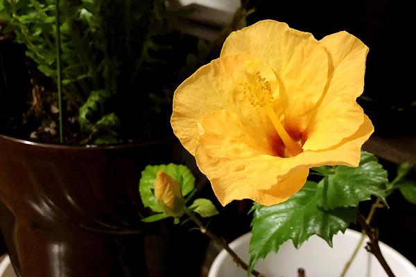 ハイビスカスイリマピカケが咲いてます 4
