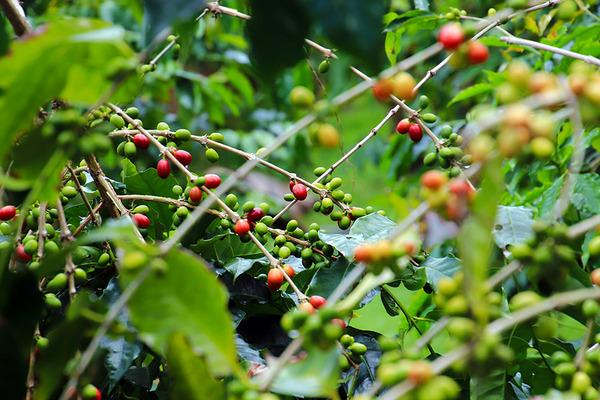 コナ 一番古い コーヒー農園 9
