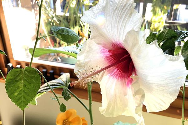 ハイビスカスイリマピカケが咲いてます 5