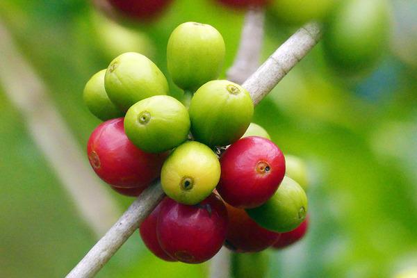 コナ 一番古い コーヒー農園 10