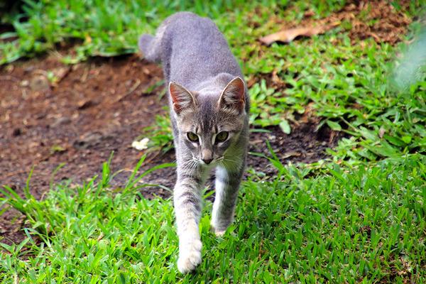 ハワイ島 コーヒー農園のかわいいネコ 4