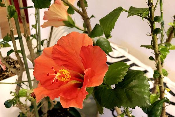 ハイビスカスイリマピカケが咲いてます 8