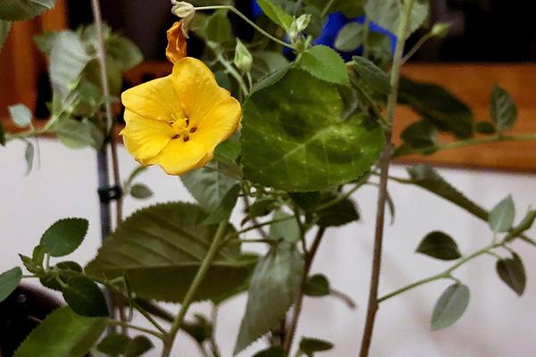 ハイビスカスイリマピカケが咲いてます 6