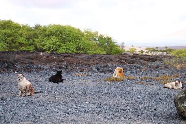 ハワイのニャンコ 10