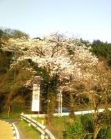 恵下谷の桜