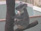 鹿児島市平川動物園コアラ
