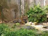 鹿児島市平川動物園トラ