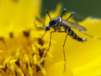 花の蜜を吸っている蚊