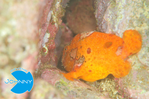 カエルアンコウオレンジ