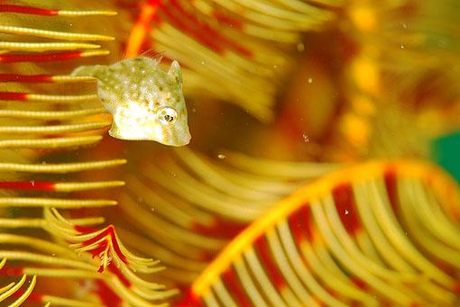 アミメハギ