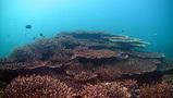 須ノ川サンゴ