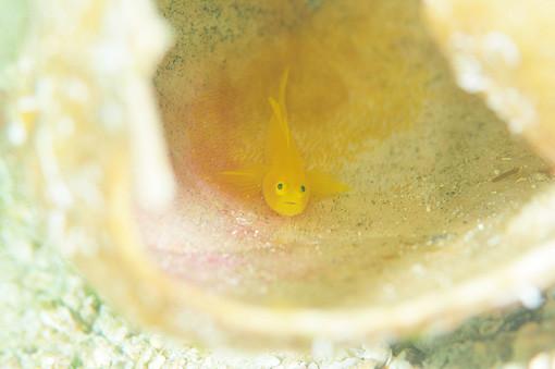 ミジンベニハゼのウニ殻