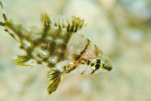 メイチダイ幼魚