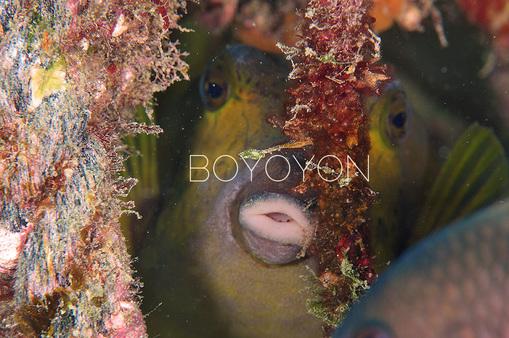 boyoyon