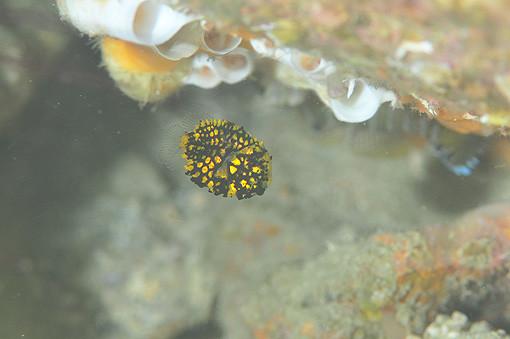マツカサウオの幼魚1