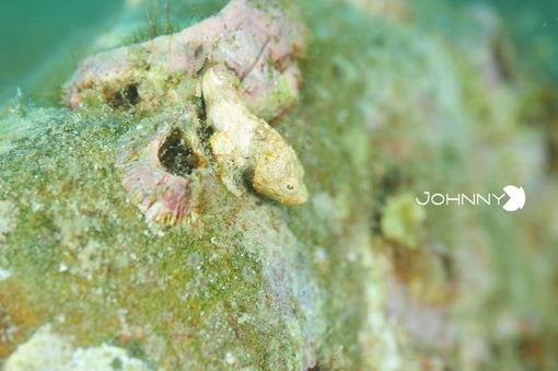 オコゼ幼魚