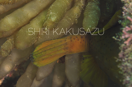 shirikakusazu