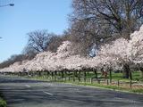 CHC桜並木