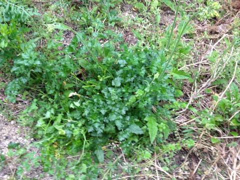 2012  5月野草とぶどう 005