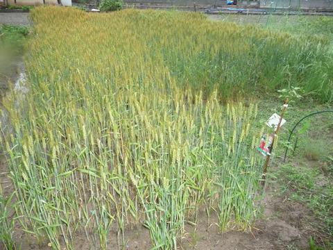 畑の画像5月から6月ブログ用 010