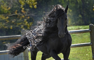 pinnacle-of-friesians-pinnacle-friesians