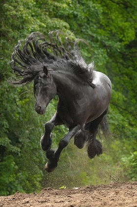 beautiful-black-horse-animals-33355403-330-500