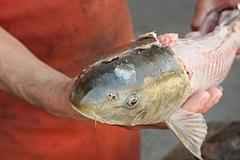 シャボットと言う川魚