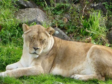 眠そうなライオン