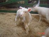 子羊と遊んでいる