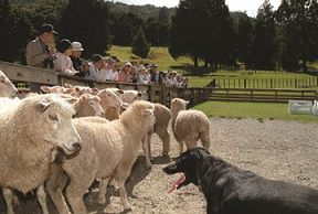 sheep _ dog cover
