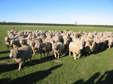 061229 牧場の羊